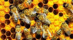 La desaparición de las abejas:  ¿una manzana a precio de caviar?