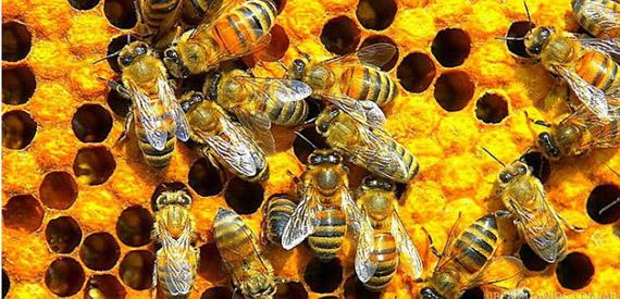UE prohibe insecticidas mortales para las abejas
