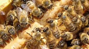 Mortandad de abejas en Región del Bío Bío