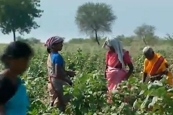 Cosechas malogradas de algodón transgénico eleva suicidios entre campesinos indios
