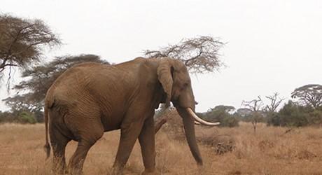 Descubren contrabando de cuatro toneladas de marfil en Kenia
