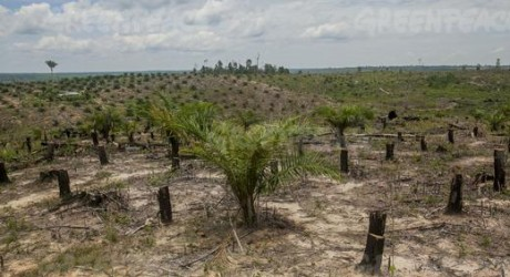 Greenpeace acusa: producción de aceite de palma destruye los bosques y amenaza al tigre de Sumatra