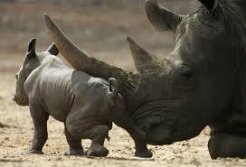 Club de caza de EE.UU. tras un rinoceronte negro… ¡para preservar la especie!