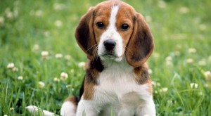 Brasil: Activistas rescatan 200 perros de raza Beagle usados para pruebas de laboratorio