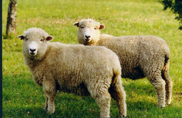 Polonia: Defensores de animales denuncian a líder musulmán por sacrificio de corderos