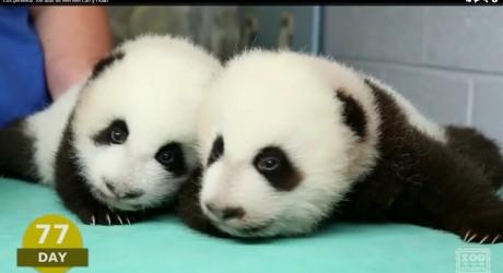 Los primeros 100 días de vida de bebés pandas gemelos