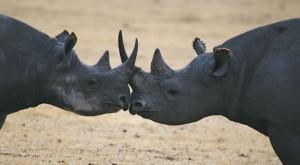 Kenia: pondrán microchips a rinocerontes para defenderlos de cazadores
