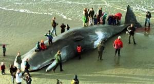 Ballena con 20 kilos de plástico en su estómago en Holanda devela la basura marina