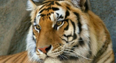 Tigres de Bengala: DiCaprio al rescate
