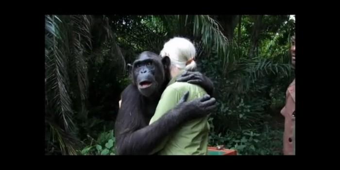 La emocionante liberación de una chimpancé agradecida