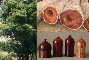 Tala ilegal pone en peligro bosques de palo de rosa en Madagascar