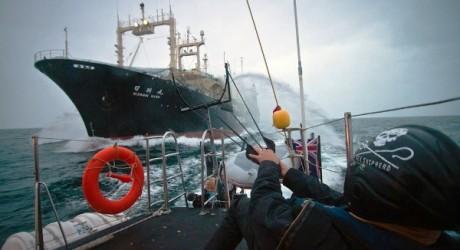 ONG Sea Sheperd denuncia a Japón por caza de ballenas en Santuario