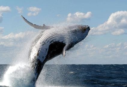 """Japón perdió en La Haya: Corte ordena suspender caza """"científica"""" de ballenas"""
