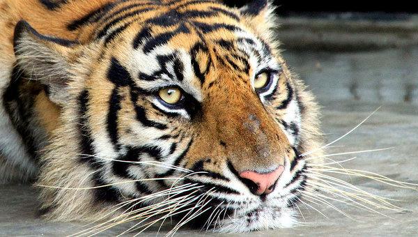 Empresarios chinos muestran su estatus sacrificando tigres