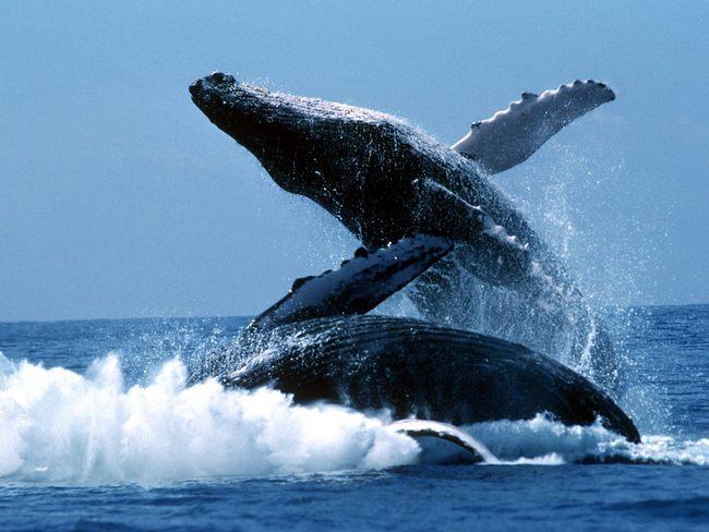 Ballenas jorobadas v/s petróleo en Canadá
