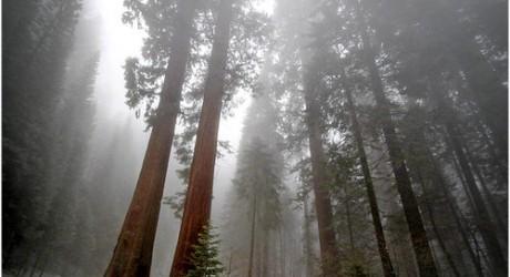 Milenarias secuoyas californianas amenazadas por su valiosa madera