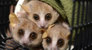 Lémures y orquídeas, las especies en peligro de la Lista Roja 2014