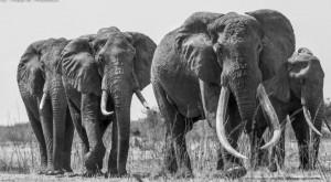Cazadores acaban con el mayor elefante de Kenia