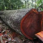 Ganancias por tala ilegal equivalen al 30% del comercio mundial de madera.