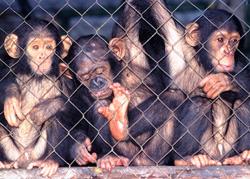 Grandes simios: la campaña contra la matanza, tráfico y esclavitud