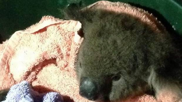 Un koala vive, un hipopótamo muere: La distinta suerte en medio de los hombres