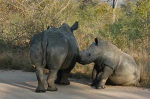 El kilo de cuerno de rinoceronte se vende a precios astronómicos en mercados asiáticos.