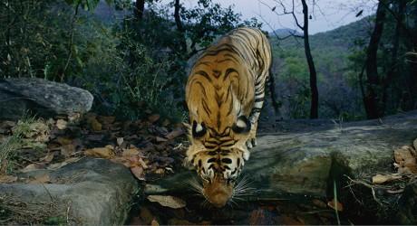 Cruzada por los tigres en libertad