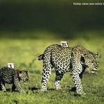 tigres AVISO