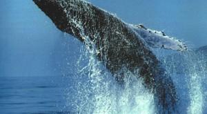 Islandia y Noruega, los otros cazadores de ballenas