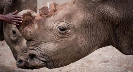 Muere uno de los últimos machos reproductores de rinoceronte blanco del norte