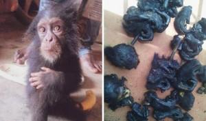 El chimpancé rescatado tiene seis meses de edad y llora cuando se le acercan humanos.