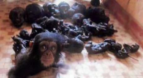 Un chimpancé bebé es rescatado de entre los restos de su familia