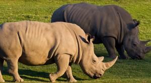 Muere otro rinoceronte blanco 'norteño' y en el mundo van quedando sólo 5