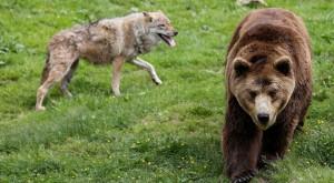 Lobos y osos están aumentando sus poblaciones fuera de áreas protegidas destinadas a conservación.