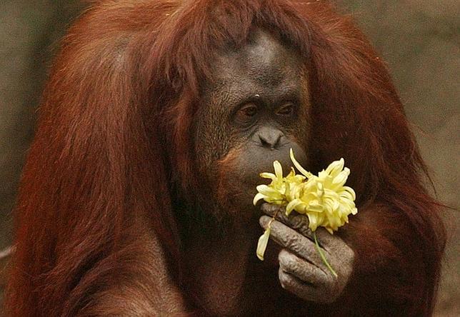 Tribunal argentino reconoce derechos de una orangután