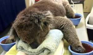 Koala en tratamiento.