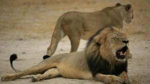 'Cecil' tenía 13 años y era el más grande y popular león de Zimbawe.