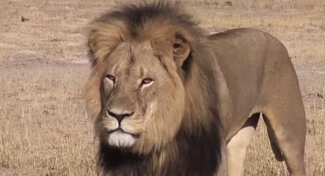 50 mil dólares cuesta cazar un gran león